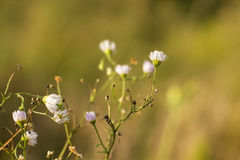 Chamomile in the field Stock Photo