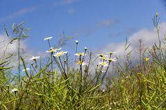 Chamomile in the field Stock Photography