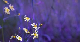 Chamomile in the field. Wild field meadow blossoming grass on nature on wind. royalty free stock photography