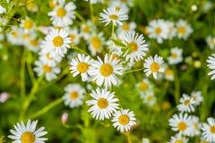 Chamomile Floral background. Summer Daisies. Blooming chamomile, medical, medicinal.  Alternative medicine.