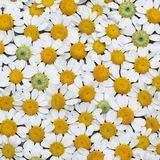 Chamomile Floral Flat Lay. Flatlay with flowers that look like daisies. Geometric look. Happiness inducing. Great, simple pattern Royalty Free Stock Photography