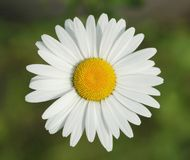 Chamomile flower. On green background Royalty Free Stock Photo