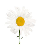 Chamomile flower Royalty Free Stock Images