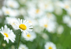 Chamomile flower. Close-up of chamomile flower Royalty Free Stock Images