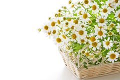 Chamomile flower. In basket on white background Royalty Free Stock Photo