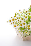 Chamomile flower. In basket on white background Stock Photos