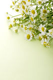 Chamomile flower. On green background Stock Photography
