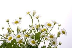 Chamomile flower. On white background Stock Photography