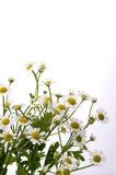 Chamomile flower. On white background Stock Photos