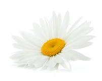 Chamomile flower Stock Images
