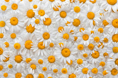 Chamomile flower background. Lined backdrop of flowers daisies Stock Images