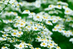Chamomile Flower Background. Fresh Flowers Of Chamomiles In Garden.