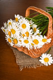 Chamomile flower in basket Royalty Free Stock Image