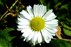 Chamomile flower. Beautiful white camomile flower wildflower Royalty Free Stock Images