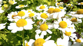 Chamomile flower bed. Summer picture small daisies. 20 July 2009 royalty free stock images