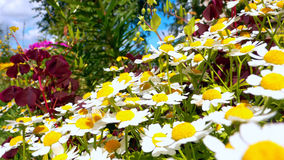 Chamomile flower bed Stock Images