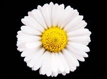 Chamomile flower Stock Photo