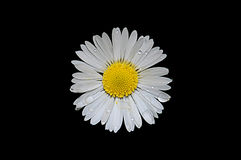 Chamomile flower on a black background with rain drops Stock Image