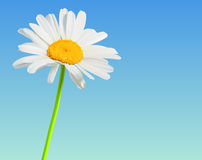 Chamomile flower bloom background. Flower vector nature background. Chamomile bloom stock illustration