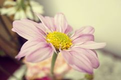 Chamomile flower blossom Royalty Free Stock Photos