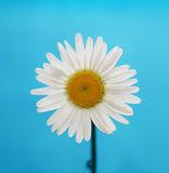 Chamomile flower on blue Royalty Free Stock Images