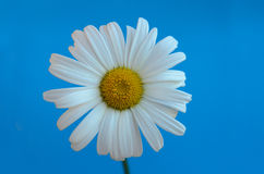 Chamomile flower on a blue background Stock Photography