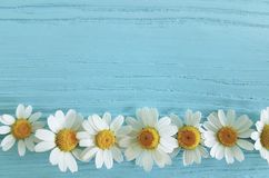 Chamomile flower on a blue background. Frame royalty free stock photo