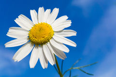 Chamomile flower with blue sky in background Stock Images