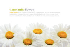 Chamomile flower bouquet Stock Photo