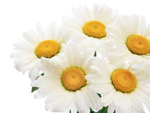 Chamomile flower bouquet Stock Photography