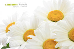 Chamomile flower bouquet Stock Image