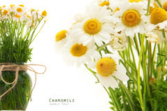 Chamomile flower bouquet Stock Photo