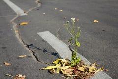 Chamomile flower breaking through the asphalt Stock Images