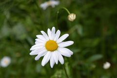 Chamomile flower and bud. Royalty Free Stock Photos