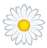 Chamomile flower cartoon Royalty Free Stock Image