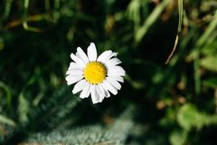 Chamomile flower in the center of composition, on blurred green background. Chamomile in the center of composition, on blurred green background royalty free stock photo