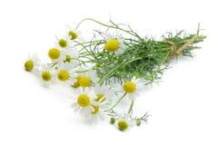 Chamomile flower Stock Photography