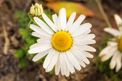 Chamomile flower close up Royalty Free Stock Images