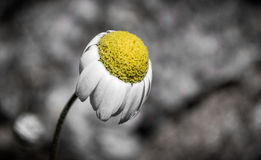 Chamomile flower close up in selective color.  Royalty Free Stock Photography