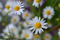 Chamomile flower closeup Stock Photos