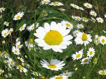 Chamomile flower - Daisy Floral background Royalty Free Stock Photography