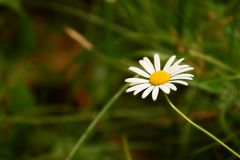 Chamomile flower with drops of water on petals royalty free stock images
