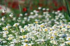 Chamomile flower field Stock Photos