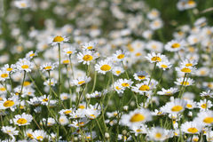 Chamomile flower field spring season nature Stock Images