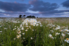 Chamomile flower field at sunset Stock Image