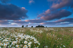 Chamomile flower field after sunset Stock Photography