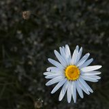 The chamomile is a flower that fights for love until the last petal!. A small sun lies on my palm, - White daisy on a green stalk. The chamomile is a flower that royalty free stock photo