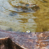 Chamomile flower floating in the fountain. Stock Photos