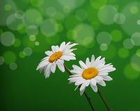 Chamomile flower on green Stock Photo
