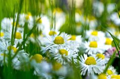 Chamomile flower on green field royalty free stock photography